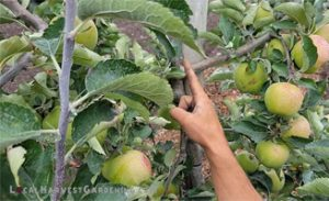 Pruning a 3rd year apple tree
