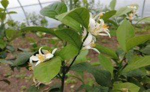 Growing lemons zone 7