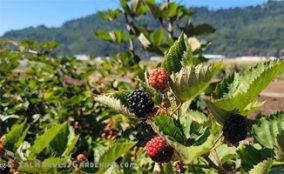 Growing Blackberry
